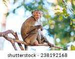 Monkey  Crab Eating Macaque  O...