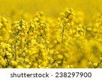 Blooming Canola Field   Rape O...