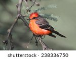 Male Vermilion Flycatcher (Pyrocephalus rubinus) on a perch with a green background