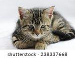 kitten | Shutterstock . vector #238337668
