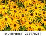 Yellow Rudbeckia Fulgida...
