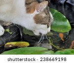 Cat Drinking From A Pond And...