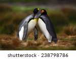 King Penguin Couple Cuddling In ...