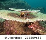 Small photo of Table Coral (Acropora hyacinthus)