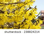 Blooming Forsythia. Symbol Of...