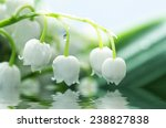 Close Up Of Lily Of The Valley