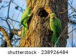 green parrot  ringnecked... | Shutterstock . vector #238926484