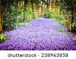 Beautiful Purple Muscari In...