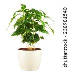 coffee tree  arabica plant  in... | Shutterstock . vector #238981540