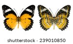 yellow butterfly isolated on... | Shutterstock . vector #239010850