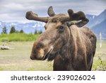 moose in alaska  usa  | Shutterstock . vector #239026024