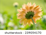 Orange Gerbera Flower In The...