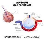 alveolus. gas exchange.... | Shutterstock .eps vector #239128069