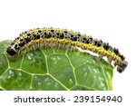 Side View Of A Caterpillar Of...