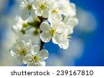 flowers of the cherry blossoms... | Shutterstock . vector #239167810