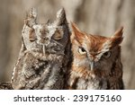 Stock photo pair of eastern screech owls gray and rust sitting in a tree 239175160