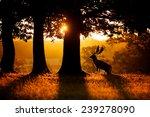 Sunrise  A Fallow Deer Buck...