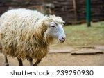 sheep | Shutterstock . vector #239290930
