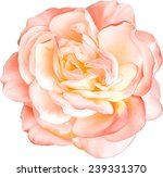 Stock vector beautiful light orange red rose flower isolated on white background vector illustration 239331370