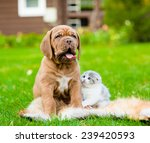 Stock photo portrait bordeaux puppy dog and newborn kitten sitting together on green grass 239420593