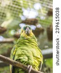 Small photo of amazona frentiazul, amazona aestiva hung on a stick