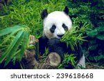 hungry giant panda bear eating... | Shutterstock . vector #239618668