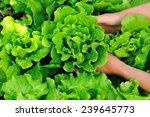 woman hands picking green... | Shutterstock . vector #239645773