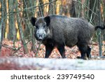 Close Portrait Of A Wild Boar...