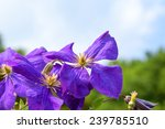 Purple Clematis Flowers And...
