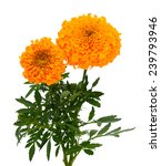 A Couple Of Marigold Flowers