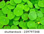 green leaves nature backgrounds ... | Shutterstock . vector #239797348