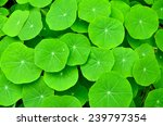 green leaves nature backgrounds ... | Shutterstock . vector #239797354