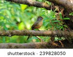 spectacled barwing | Shutterstock . vector #239828050