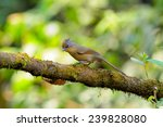 spectacled barwing | Shutterstock . vector #239828080