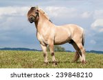 Portrait Of Nice Fjord Horse...