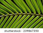 Palm Leaf Isolated On Black...