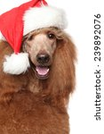 Royal Poodle In Christmas Red...