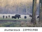 Herd Of Wild Boars Standing On...