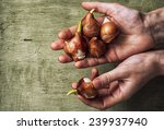 Spring  Bulbs Of Plants In The...