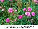 Stock photo beautiful pink rose in the garden 240040090