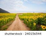 Sunflower Field  Thailand.