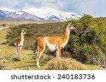 beautiful lama on a hill in... | Shutterstock . vector #240183736