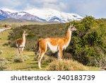 beautiful lama on a hill in... | Shutterstock . vector #240183739