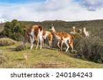 beautiful guanaco in patagonia  ... | Shutterstock . vector #240184243
