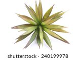 agave on white background | Shutterstock . vector #240199978
