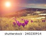 First Spring Flowers Crocus As...