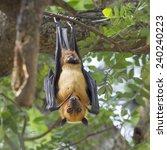 lyle's flying fox male hang on... | Shutterstock . vector #240240223