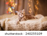 Stock photo british kitten christmas and new year portrait cat on a studio color background 240255109