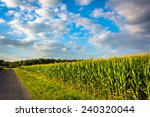 Corn Field Along A Road In...