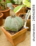 Small photo of Cactus Astrophytum Myriostoma for sale in a small pot